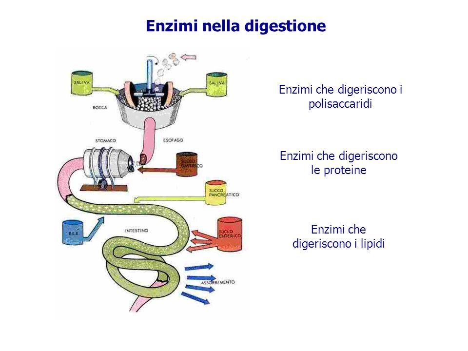 Enzimi che digeriscono i polisaccaridi Enzimi che digeriscono le proteine Enzimi che digeriscono i lipidi Enzimi nella digestione