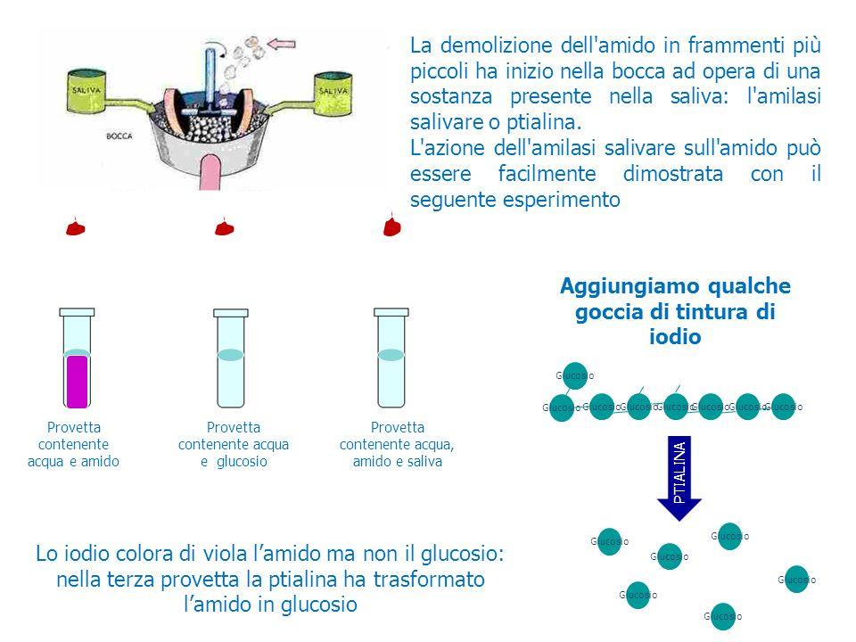AMILASI La demolizione dell'amido in frammenti più piccoli ha inizio nella bocca ad opera di una sostanza presente nella saliva: l'amilasi salivare o