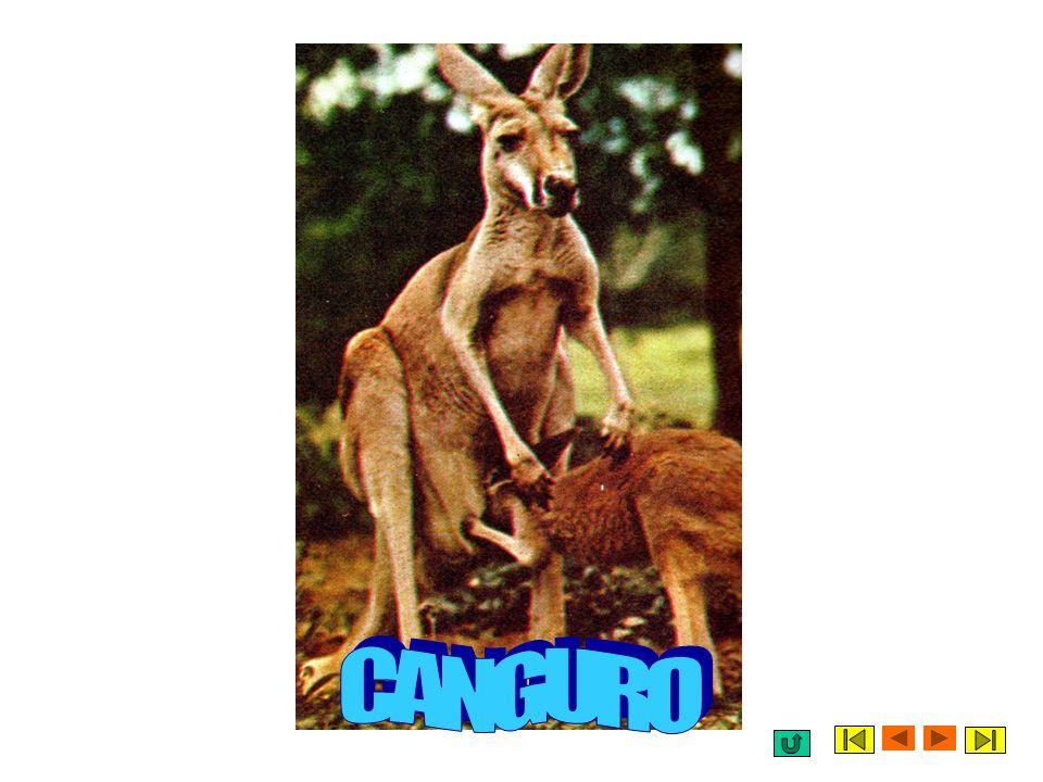 MARSUPIALI Un altro tipo di mammifero interessante è il marsupiale che trasporta i propri piccoli subito dopo la nascita in una sacca che ha sul propr