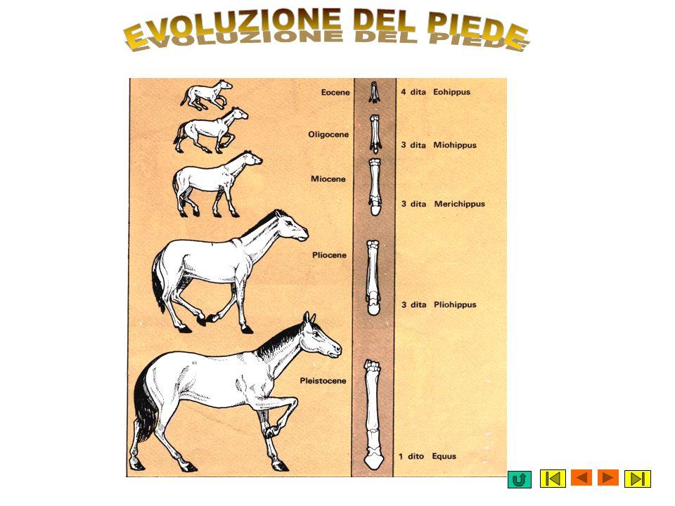 I cavalli non sono stati sempre come li vedi oggi. Grazie al ritrovamento di fossili è stato possibile ricostruire la loro evoluzione. 40 milioni di a