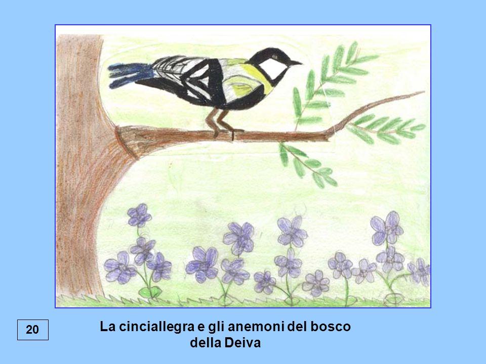 20 La cinciallegra e gli anemoni del bosco della Deiva