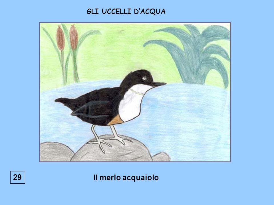 Il merlo acquaiolo GLI UCCELLI DACQUA 29