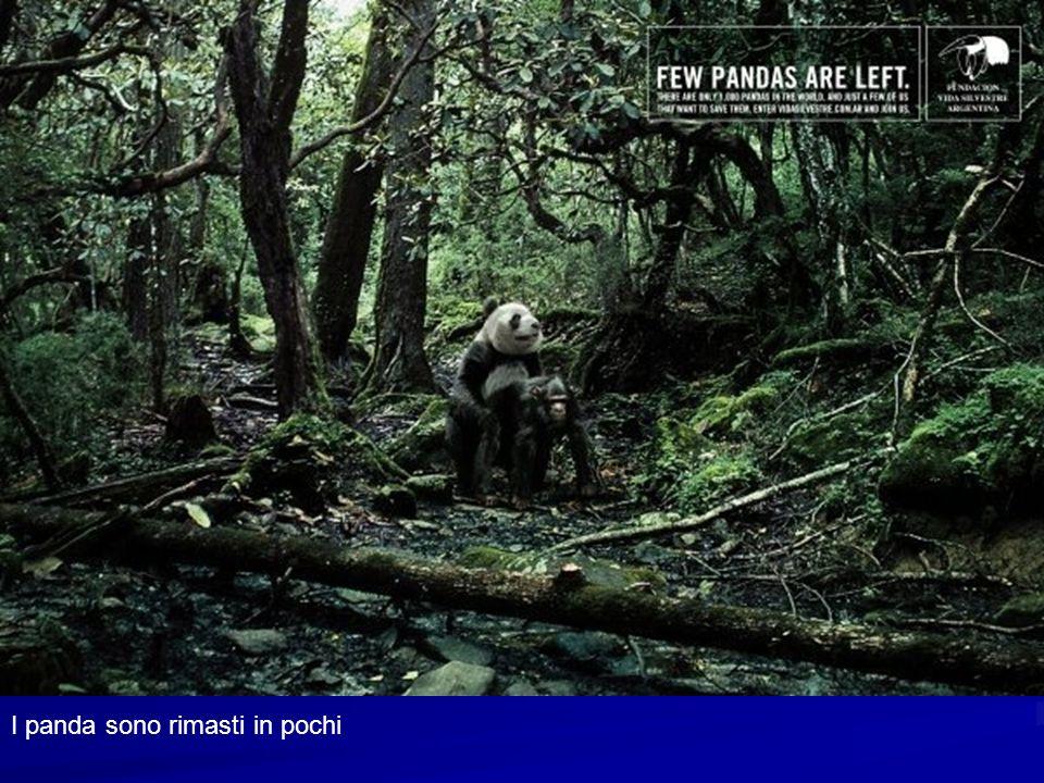 I panda sono rimasti in pochi