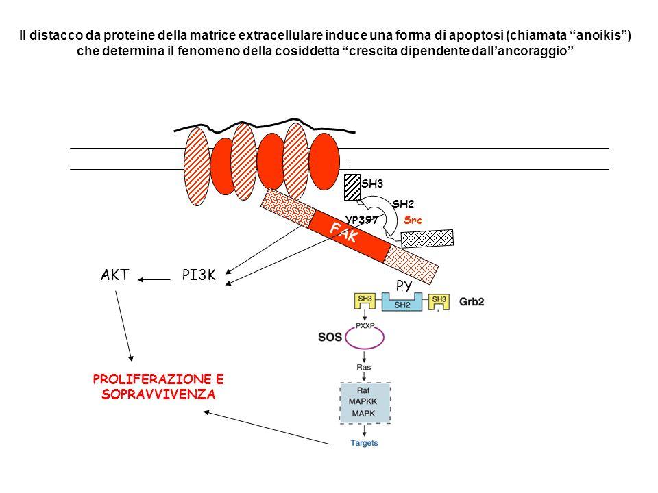 FAK YP397 SH2 SH3 Src PY PI3KAKT PROLIFERAZIONE E SOPRAVVIVENZA Il distacco da proteine della matrice extracellulare induce una forma di apoptosi (chi