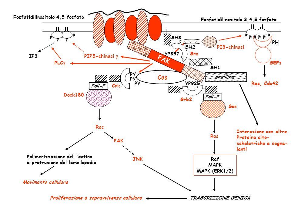 FAK YP397 SH2 SH3 SH1 Src YP925 Grb2 Poli-P Sos Ras Raf MAPK MAPK (ERK1/2) TRASCRIZIONE GENICAProliferazione e sopravvivenza cellulare Cas PY CrkPoli-