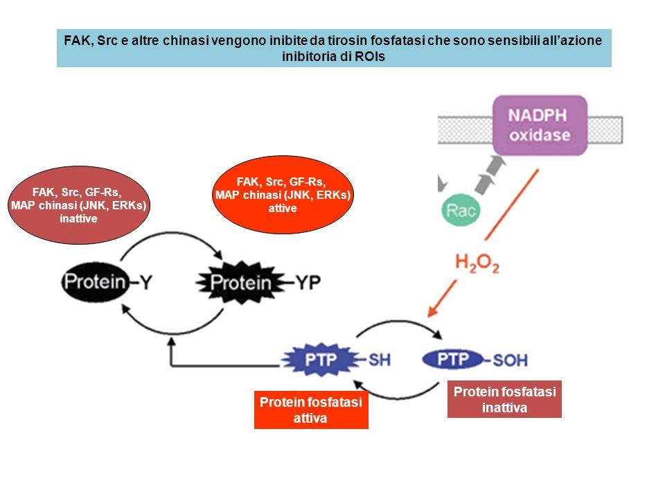 FAK, Src e altre chinasi vengono inibite da tirosin fosfatasi che sono sensibili allazione inibitoria di ROIs Protein fosfatasi attiva Protein fosfata