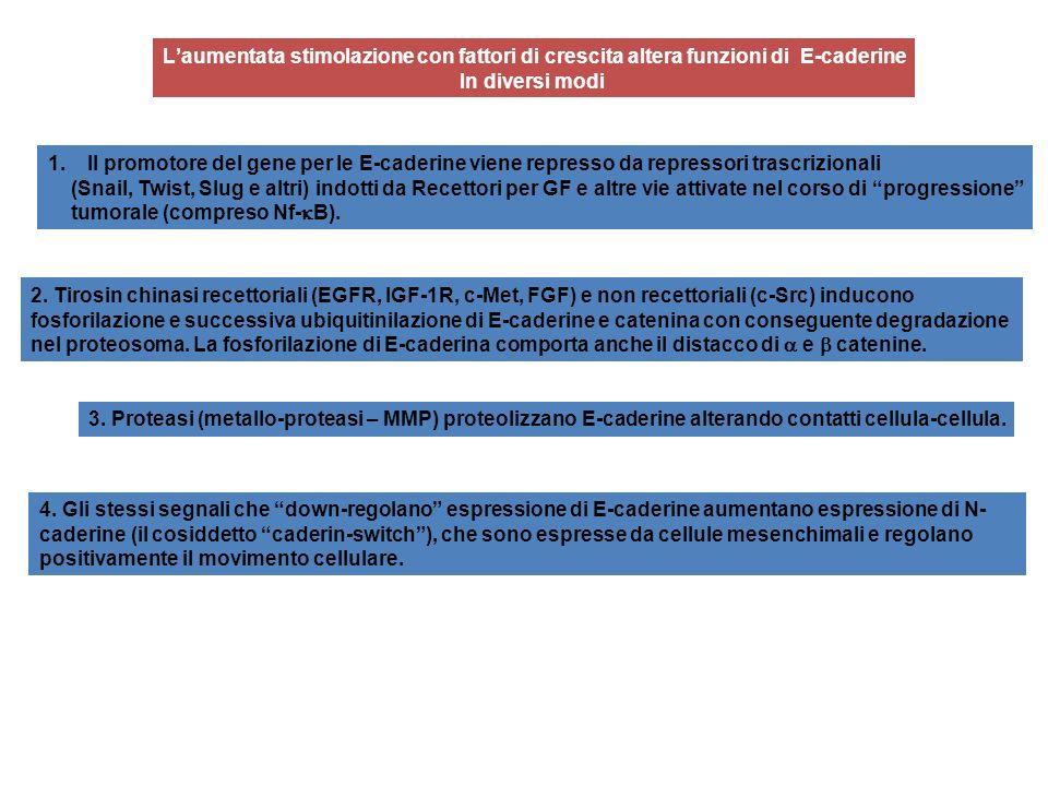 Laumentata stimolazione con fattori di crescita altera funzioni di E-caderine In diversi modi 1.Il promotore del gene per le E-caderine viene represso