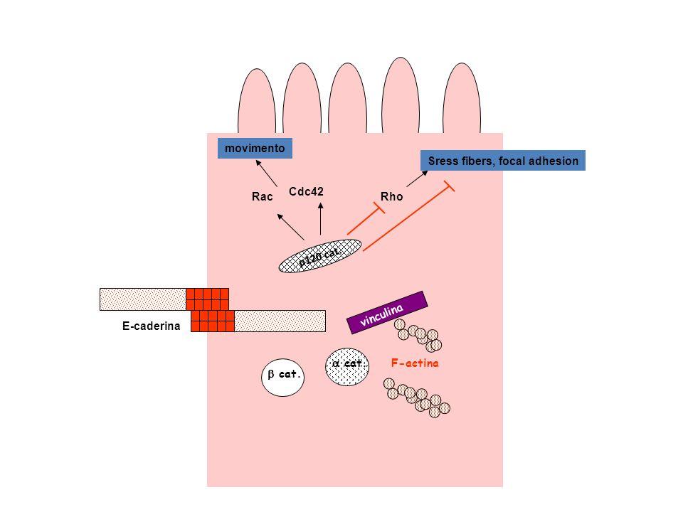 cat. p120 cat. F-actina vinculina E-caderina Rac Cdc42 Rho movimento Sress fibers, focal adhesion