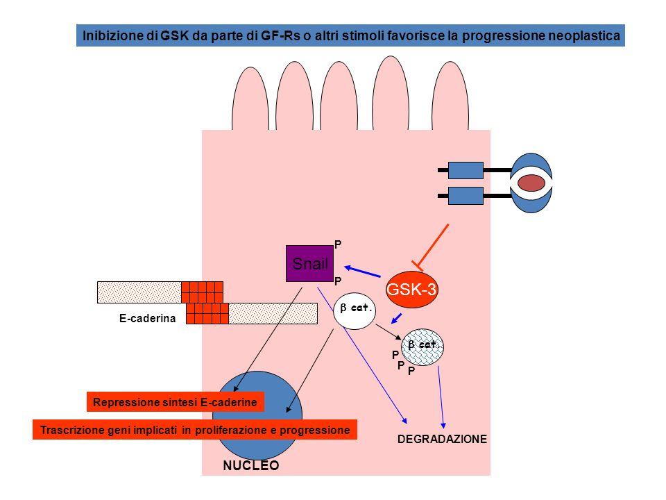 E-caderina cat. P P P DEGRADAZIONE NUCLEO Trascrizione geni implicati in proliferazione e progressione GSK-3 Snail P P cat. Repressione sintesi E-cade
