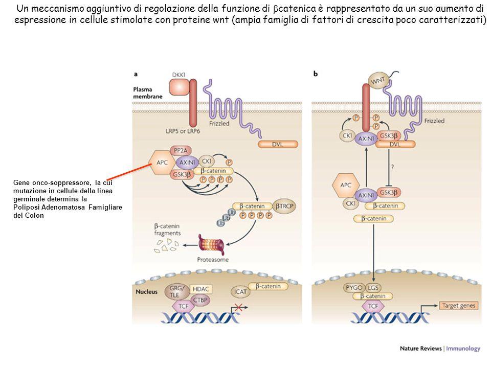 Un meccanismo aggiuntivo di regolazione della funzione di catenica è rappresentato da un suo aumento di espressione in cellule stimolate con proteine