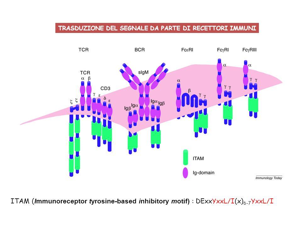 ITAM ( Immunoreceptor tyrosine-based inhibitory motif) : DExxYxxL/I(x) 6-7 YxxL/I TRASDUZIONE DEL SEGNALE DA PARTE DI RECETTORI IMMUNI