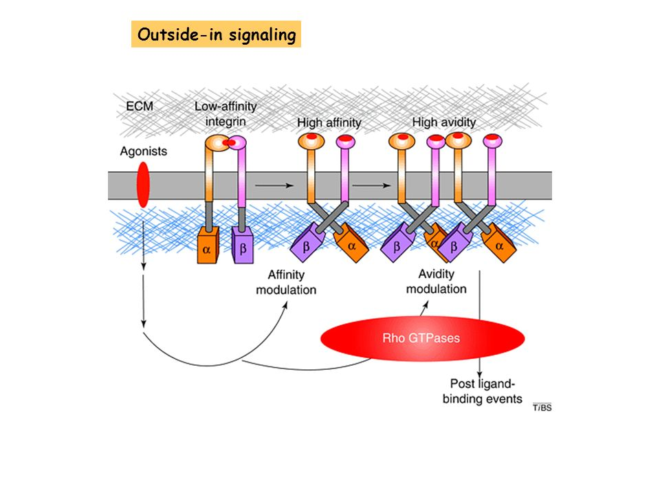 Outside-in signaling