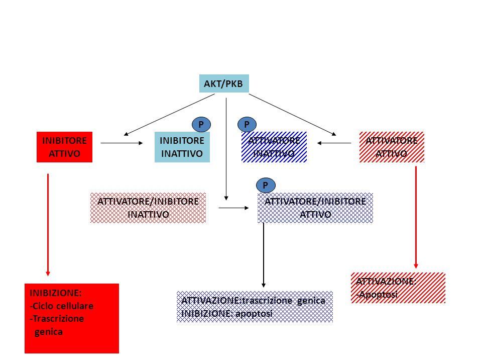 AKT/PKB INIBITORE ATTIVO INIBIZIONE: -Ciclo cellulare -Trascrizione genica INIBITORE INATTIVO P ATTIVATORE ATTIVO ATTIVATORE INATTIVO P ATTIVAZIONE: -