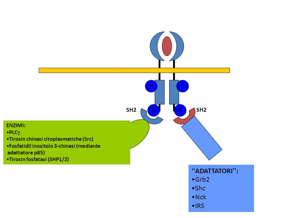 PPPP SH2 ENZIMI: PLC Tirosin chinasi citoplasmatiche (Src) Fosfatidil inositolo 3-chinasi (mediante adattatore p85) Tirosin fosfatasi (SHP1/2) ADATTAT