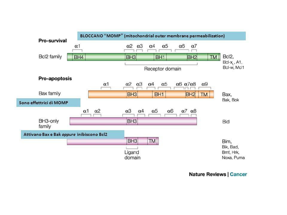 BLOCCANO MOMP (mitochondrial outer membrane permeabilization) Sono effettrici di MOMP Attivano Bax e Bak oppure inibiscono Bcl2
