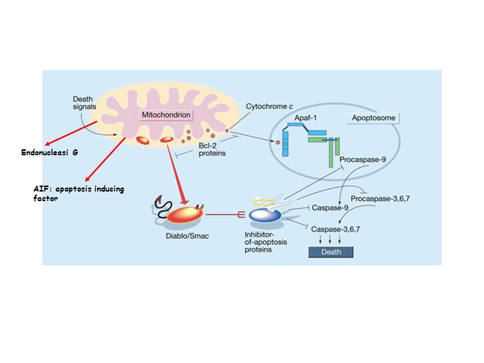 AIF: apoptosis inducing factor Endonucleasi G