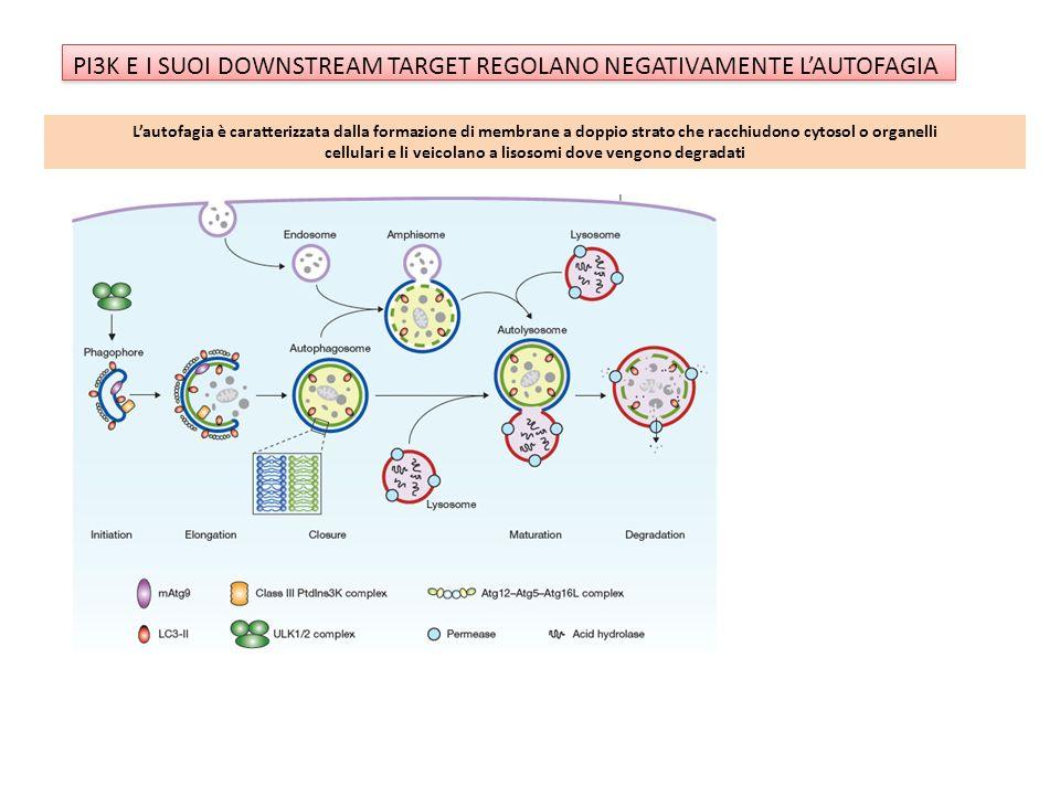 PI3K E I SUOI DOWNSTREAM TARGET REGOLANO NEGATIVAMENTE LAUTOFAGIA Lautofagia è caratterizzata dalla formazione di membrane a doppio strato che racchiu