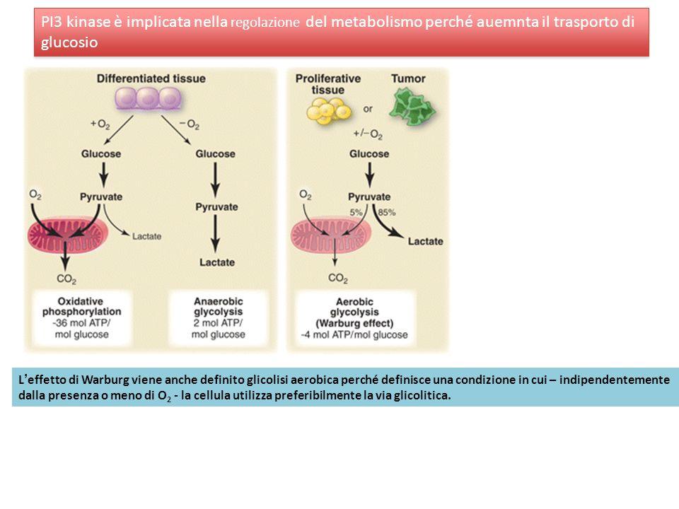Leffetto di Warburg viene anche definito glicolisi aerobica perché definisce una condizione in cui – indipendentemente dalla presenza o meno di O 2 -