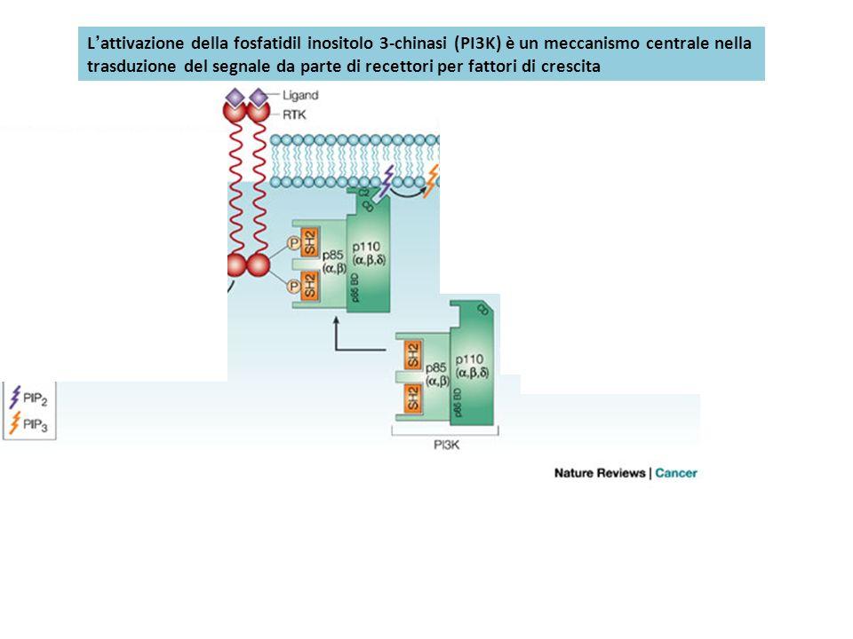 Sos Lattivazione della fosfatidil inositolo 3-chinasi (PI3K) è un meccanismo centrale nella trasduzione del segnale da parte di recettori per fattori