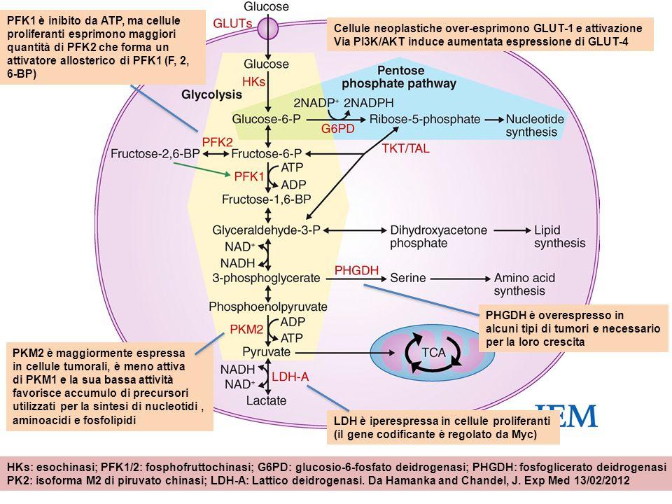 HKs: esochinasi; PFK1/2: fosphofruttochinasi; G6PD: glucosio-6-fosfato deidrogenasi; PHGDH: fosfoglicerato deidrogenasi PK2: isoforma M2 di piruvato c