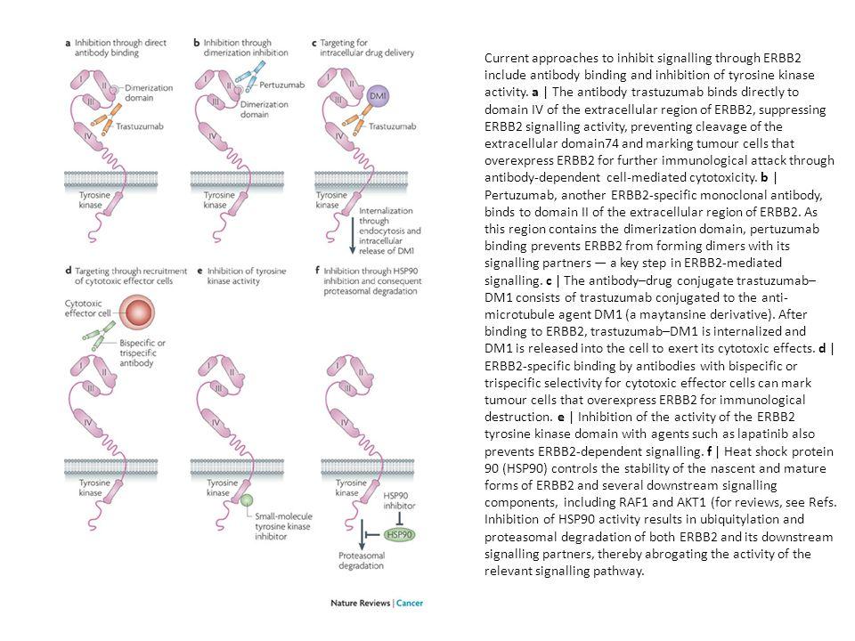 Current approaches to inhibit signalling through ERBB2 include antibody binding and inhibition of tyrosine kinase activity. a | The antibody trastuzum