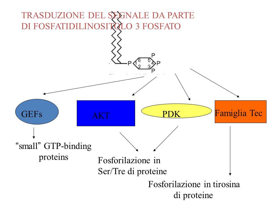 GEFs AKT PDK Famiglia Tec small GTP-binding proteins Fosforilazione in Ser/Tre di proteine Fosforilazione in tirosina di proteine TRASDUZIONE DEL SEGN