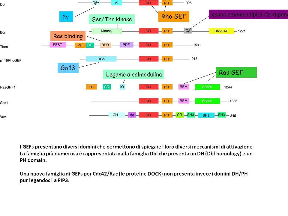 Ras GEF Rho GEF G 13 Ser/Thr kinase associazione a lipidi Ca-dipendente Legame a calmodulina Ras binding I GEFs presentano diversi domini che permetto