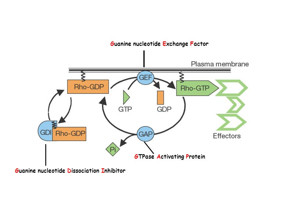 Guanine nucleotide Exchange Factor GTPase Activating Protein Guanine nucleotide Dissociation Inhibitor