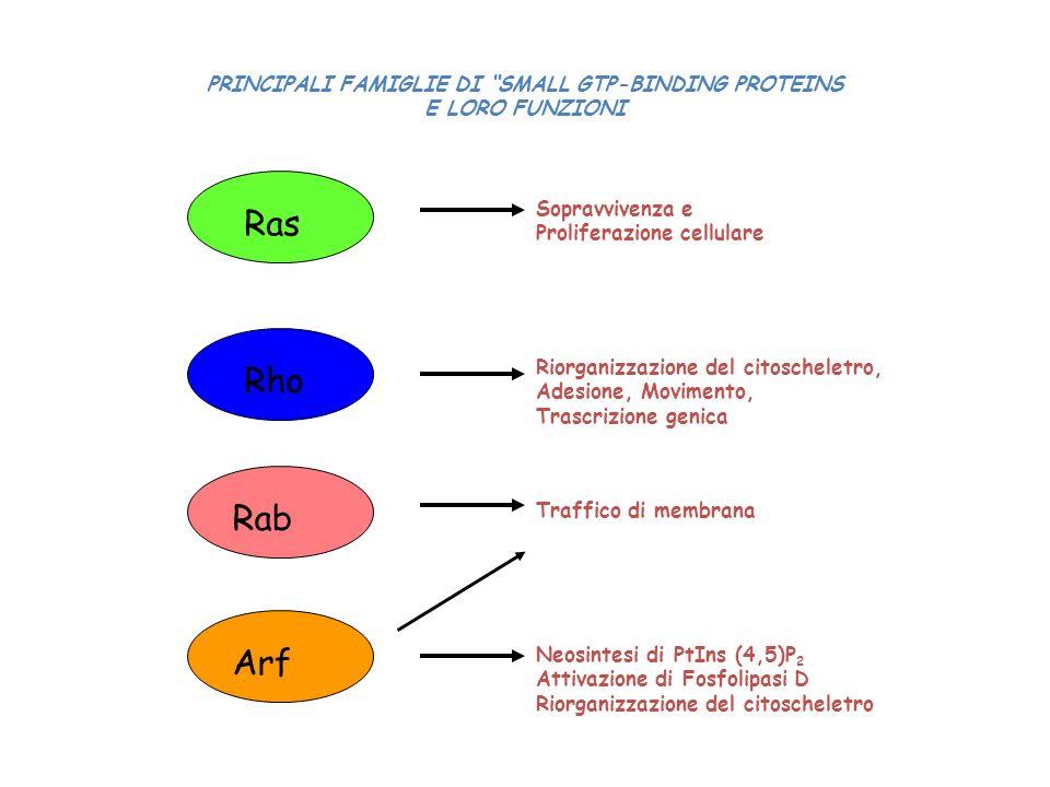 Ras Rho Rab Arf Sopravvivenza e Proliferazione cellulare Riorganizzazione del citoscheletro, Adesione, Movimento, Trascrizione genica Traffico di memb