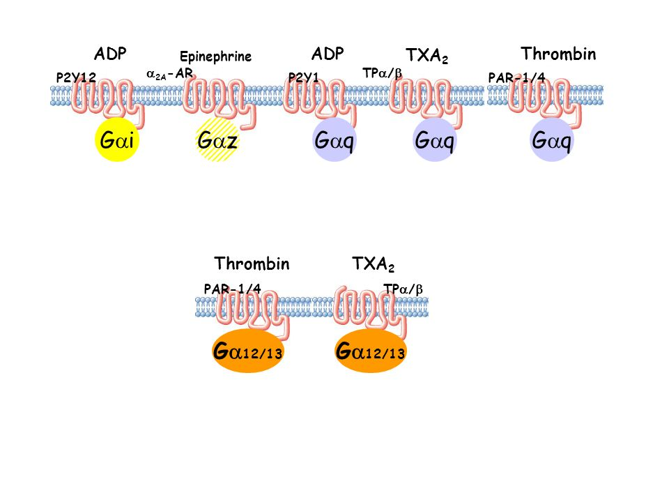 G iG z P2Y12 ADP Epinephrine 2A -AR G q ADP P2Y1 TXA 2 TP / PAR-1/4 Thrombin G 12/13 Thrombin PAR-1/4 TXA 2 TP /