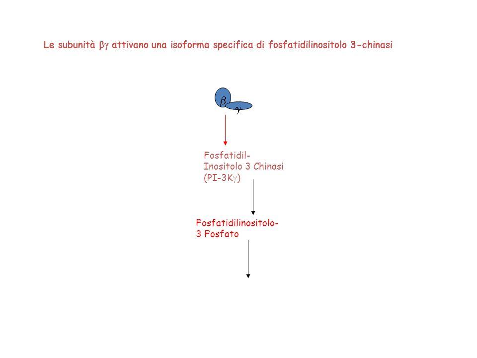 Fosfatidil- Inositolo 3 Chinasi (PI-3K ) Fosfatidilinositolo- 3 Fosfato Le subunità attivano una isoforma specifica di fosfatidilinositolo 3-chinasi