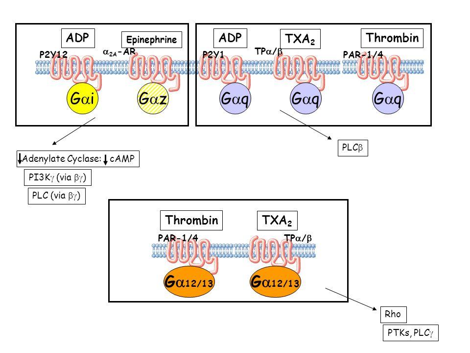 G iG z P2Y12 ADP Epinephrine 2A -AR G q ADP P2Y1 TXA 2 TP / PAR-1/4 Thrombin G 12/13 Thrombin PAR-1/4 TXA 2 TP / Adenylate Cyclase: cAMP PI3K (via ) P