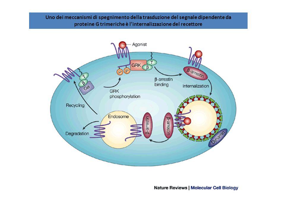 Uno dei meccanismi di spegnimento della trasduzione del segnale dipendente da proteine G trimeriche è linternalizzazione del recettore