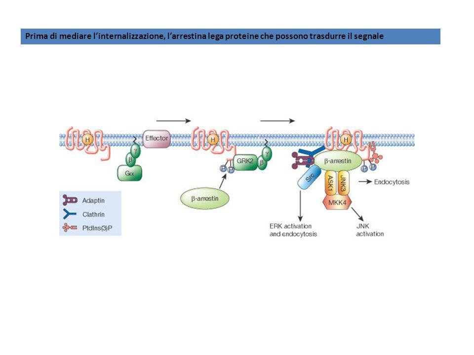 Prima di mediare linternalizzazione, larrestina lega proteine che possono trasdurre il segnale