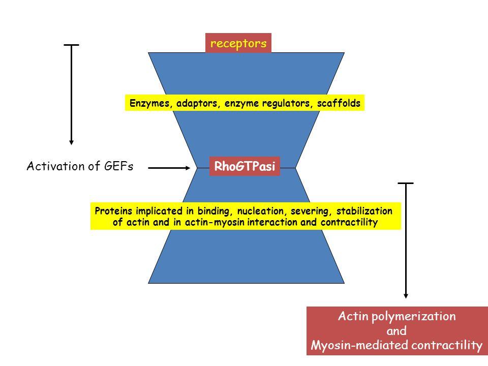 RhoGTPasi Actin polymerization and Myosin-mediated contractility receptors Enzymes, adaptors, enzyme regulators, scaffolds Activation of GEFs Proteins