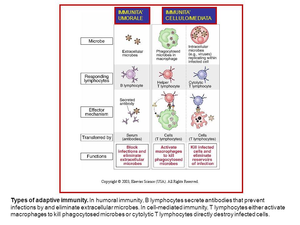 Types of adaptive immunity.