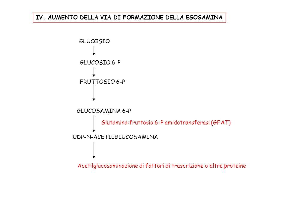 IV. AUMENTO DELLA VIA DI FORMAZIONE DELLA ESOSAMINA GLUCOSIO GLUCOSIO 6-P FRUTTOSIO 6-P GLUCOSAMINA 6-P UDP-N-ACETILGLUCOSAMINA Glutamina:fruttosio 6-