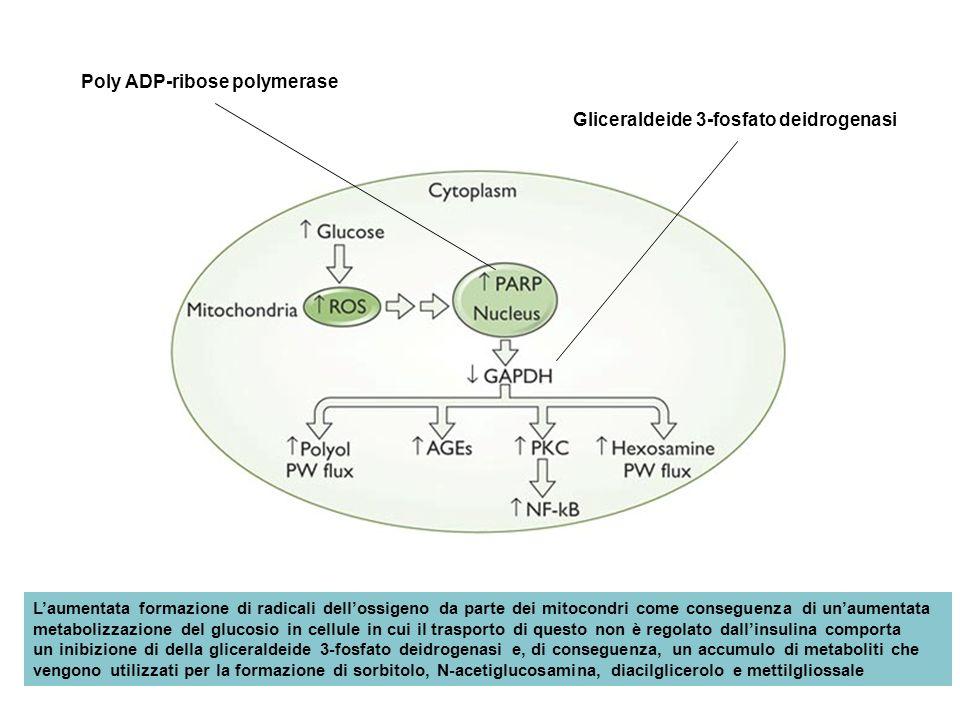 Gliceraldeide 3-fosfato deidrogenasi Poly ADP-ribose polymerase Laumentata formazione di radicali dellossigeno da parte dei mitocondri come conseguenz