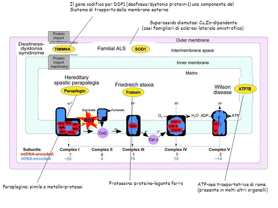 Il gene codifica per DDP1 (deafness/dystonia protein-1) una componente del Sistema di trasporto della membrana esterna Superossido dismutasi Cu,Zn-dip