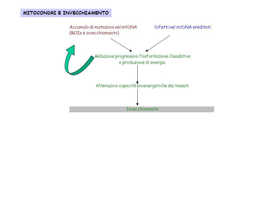 Accumulo di mutazioni nel mtDNA Difetti nel mtDNA ereditati (ROIs e invecchiamento) Riduzione progressiva Fosforilazione Ossidativa e produzione di en