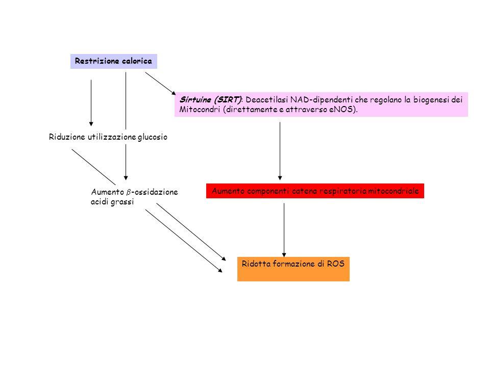 Restrizione calorica Sirtuine (SIRT): Deacetilasi NAD-dipendenti che regolano la biogenesi dei Mitocondri (direttamente e attraverso eNOS). Aumento co