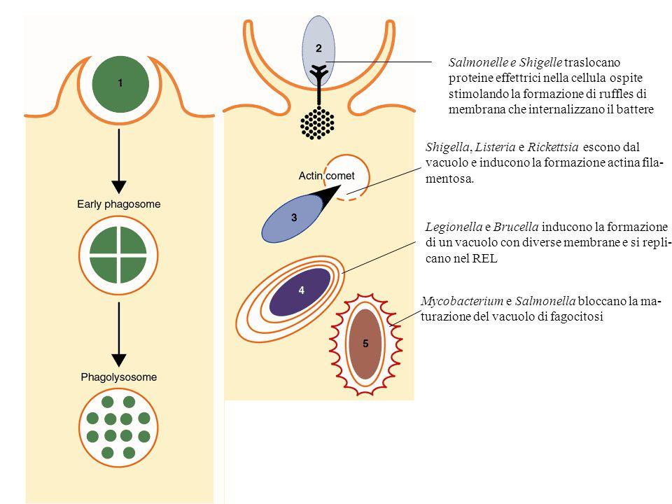 Salmonelle e Shigelle traslocano proteine effettrici nella cellula ospite stimolando la formazione di ruffles di membrana che internalizzano il batter