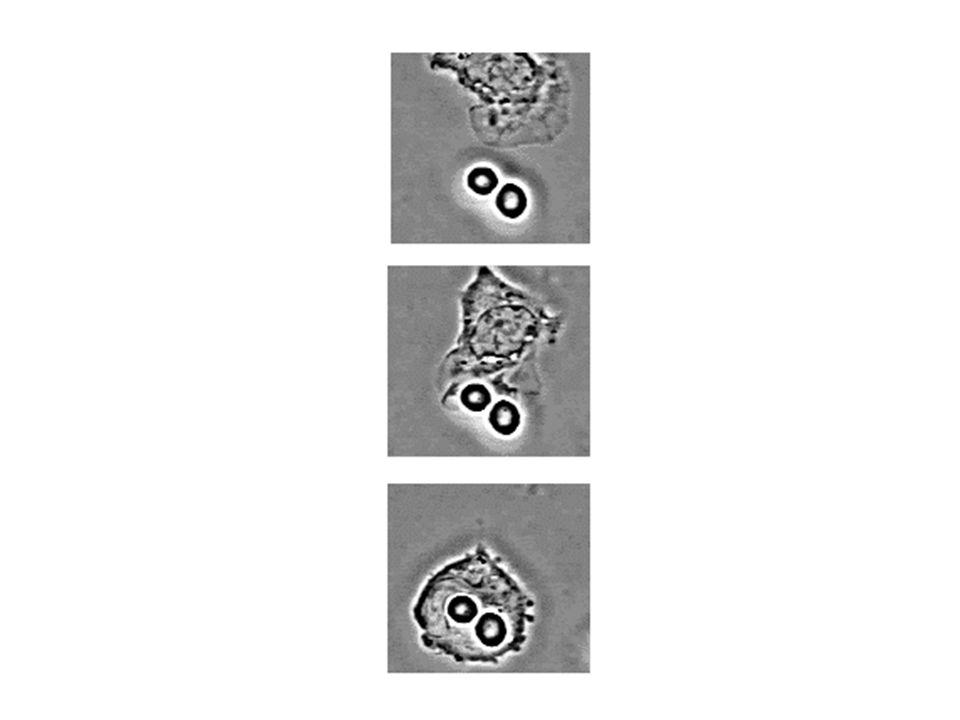 Cell endoteliali Monociti/macr.