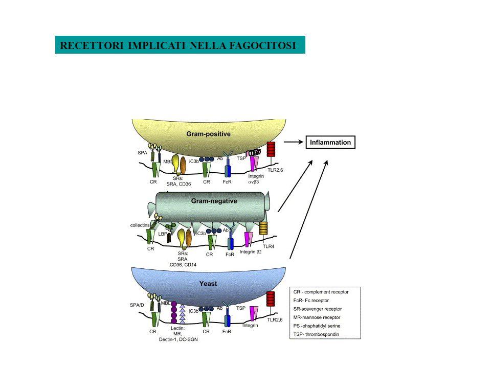 PAMPs (Pathogen Associated Molecular Patterns) PRRs (Patterns Recognition Receptors) Fc Receptors C Receptors IgG C3b/bi LIGANDI RECETTORI LIGANDI PPRs secreti: - C-type lectin (MBL: Mannose Binding Lectin) Residui mannosio - Pentraxine (CRP, SAP) Fosforilcolina - Lipid-transfer proteins (LBP) LPS PPRs espressi in superficie: - CD14 LPS - Toll-like receptors (TLRs) LPS e altre componenti batteriche - Macrophage Mannose receptor Residui mannosio lieviti - Scavenger receptor-A LPS e altre componenti batteriche - Dectin beta glucano lieviti PPRs intracellulari: - PKR dsRNA - NODs ?.
