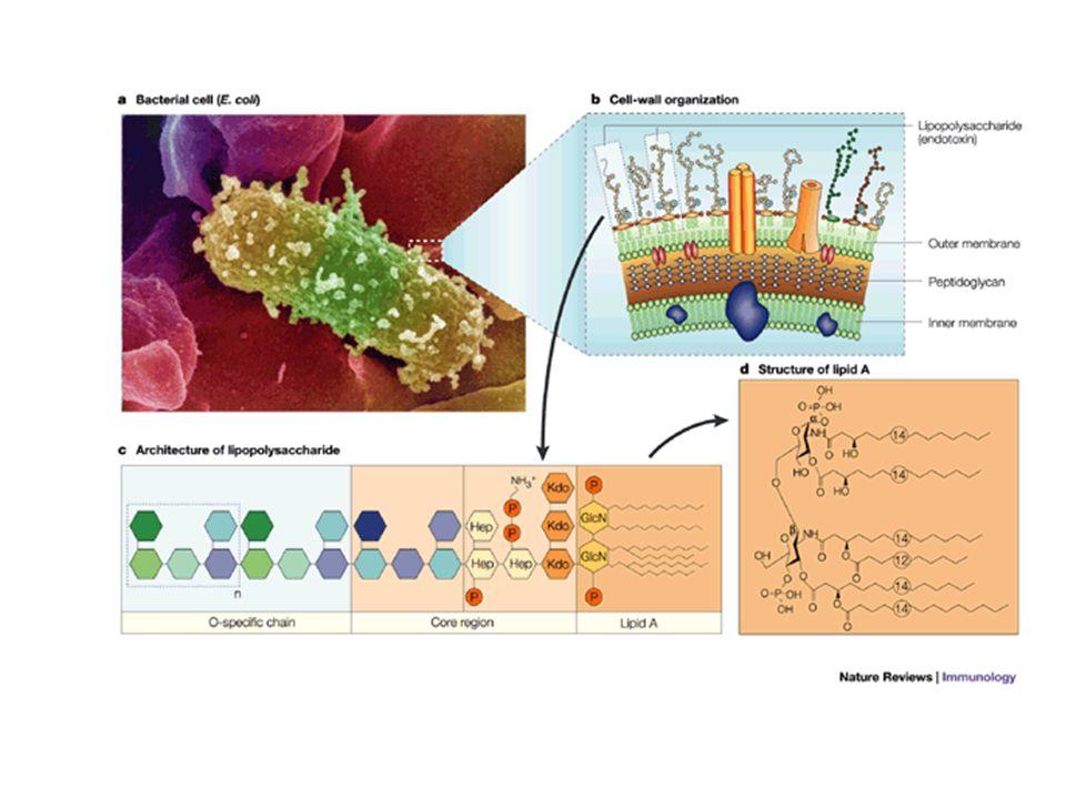 N C Micelle di LPS sCD14 LBP Lipoproteine mCD14 ?