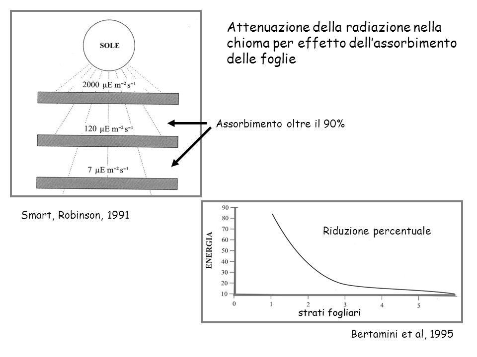 Smart, Robinson, 1991 Attenuazione della radiazione nella chioma per effetto dellassorbimento delle foglie Riduzione percentuale Bertamini et al, 1995 Assorbimento oltre il 90%