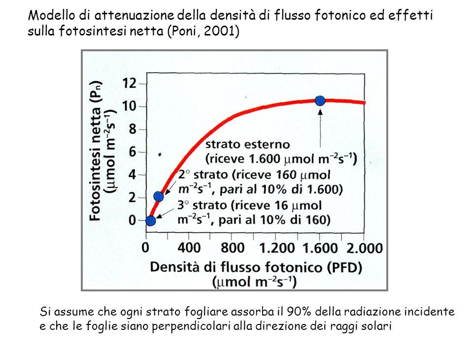 Modello di attenuazione della densità di flusso fotonico ed effetti sulla fotosintesi netta (Poni, 2001) Si assume che ogni strato fogliare assorba il 90% della radiazione incidente e che le foglie siano perpendicolari alla direzione dei raggi solari