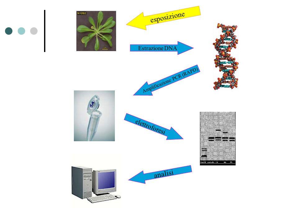 esposizione Estrazione DNA Amplificazione PCR (RAPD) elettroforesi analisi