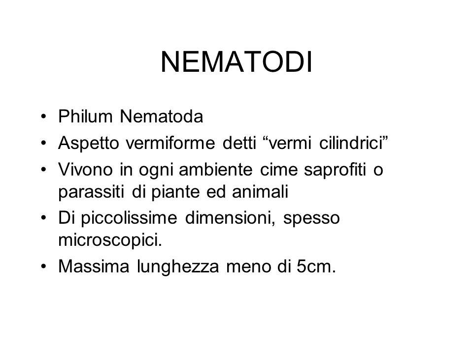 NEMATODI Philum Nematoda Aspetto vermiforme detti vermi cilindrici Vivono in ogni ambiente cime saprofiti o parassiti di piante ed animali Di piccolis