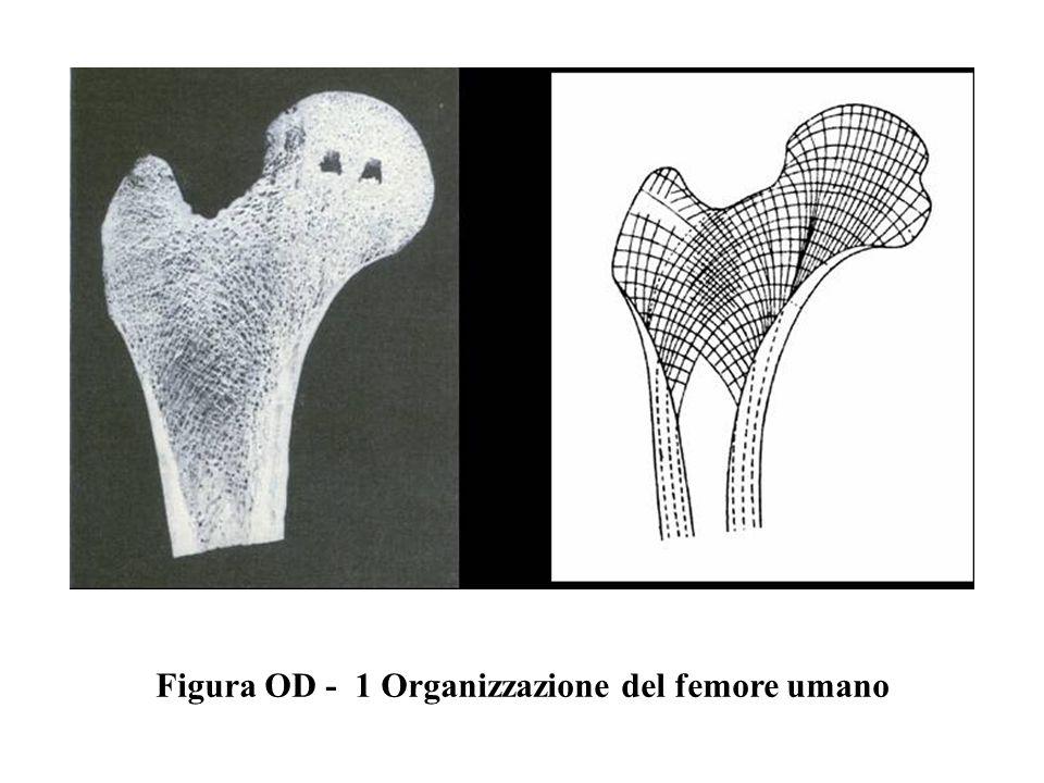 Figura OD - 1 Organizzazione del femore umano